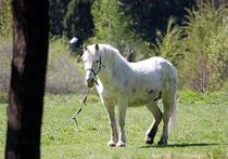 Кража ахалтекинцев в Подмосковье: подозреваются любители конины