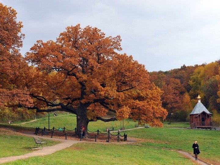 Белгородский дуб примет участие вконкурсе Европейского дерева года